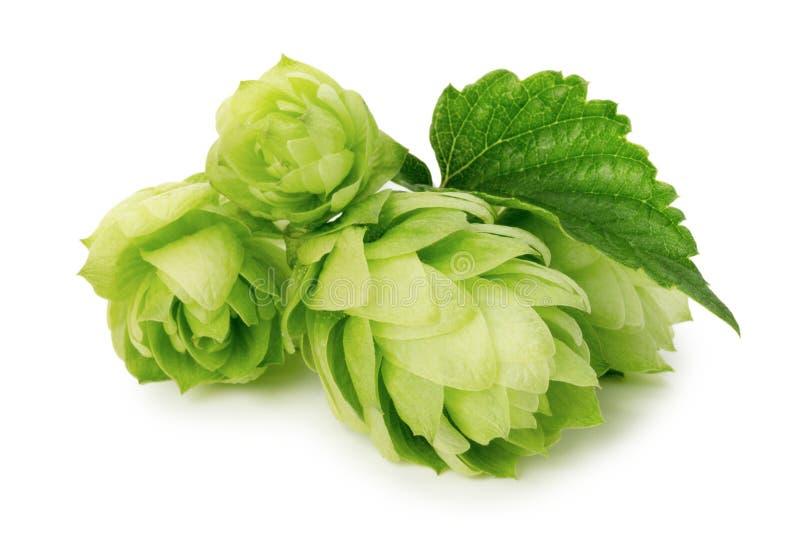 Grüne Hopfen lokalisiert auf dem weißen Hintergrund lizenzfreie stockfotografie