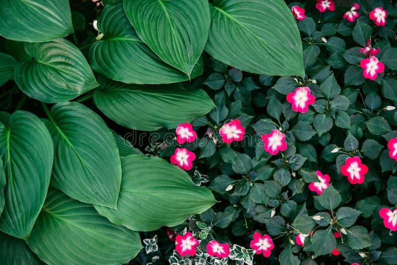 Grüne Hostablätter und weiße rosa balsamine Blumen lizenzfreies stockfoto