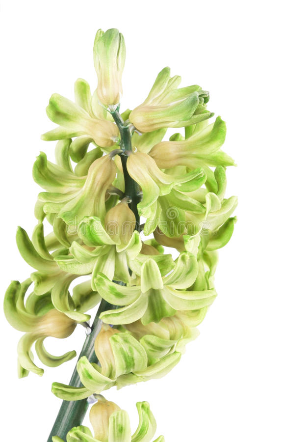 Grüne Hyazinthe stockbild. Bild von blume, blüte, weiß - 38205013