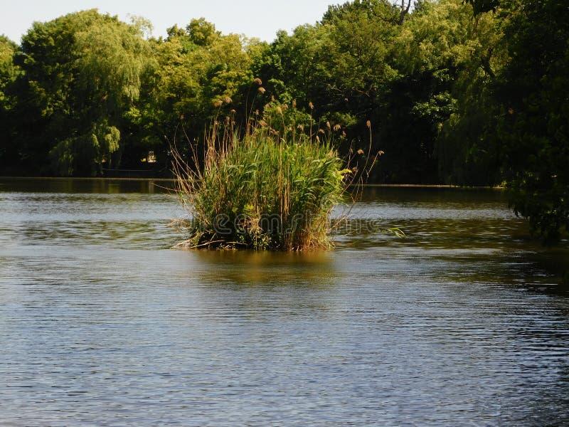 Grüne Insel auf dem Sommerteich lizenzfreie stockfotografie