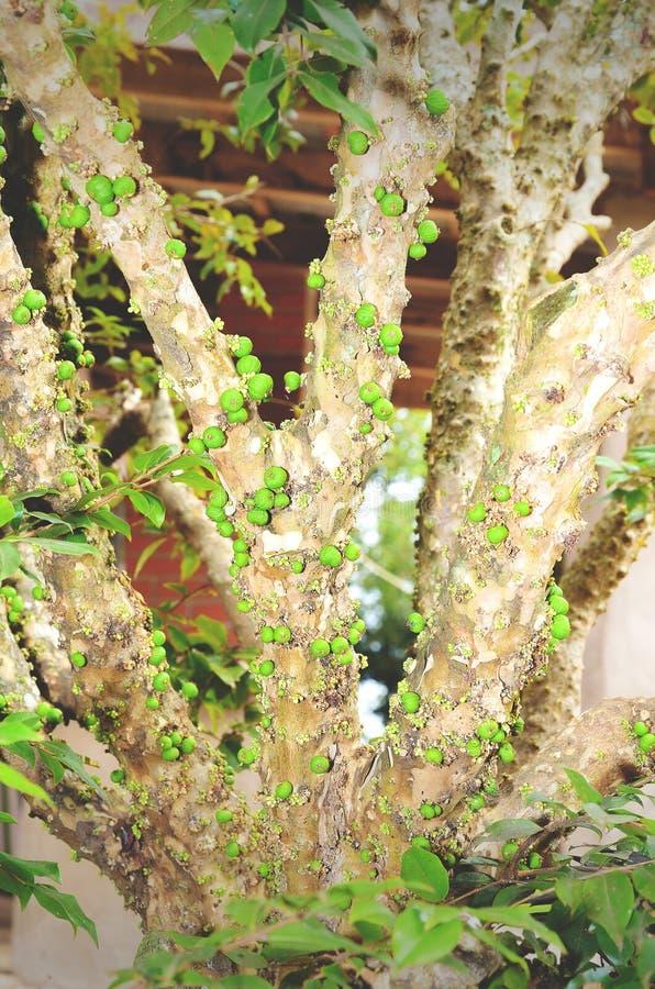 Grüne Jaboticaba-Früchte auf einem Jaboticabeira-Baum stockfoto