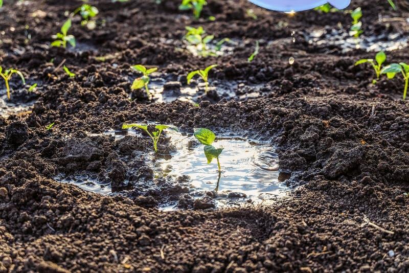 Grüne junge Gemüsetrieb nach der Bewässerung lizenzfreie stockfotografie