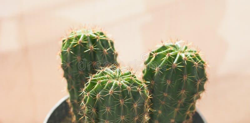 Grüne Kaktuspflanze lizenzfreie stockfotos