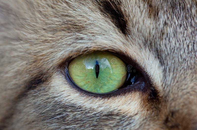 Grüne Katze ` s Augennahaufnahme Kuh und Stier lizenzfreies stockfoto