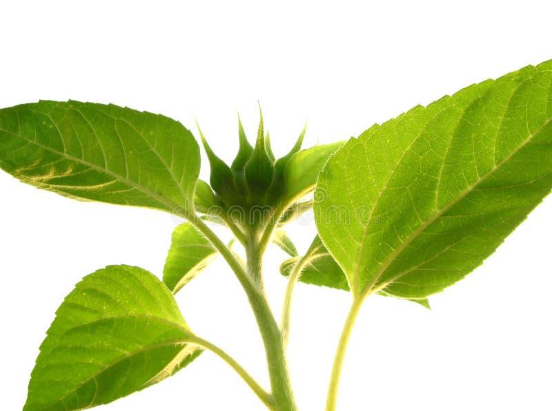 Grüne Knospe der Sonnenblume lizenzfreies stockfoto