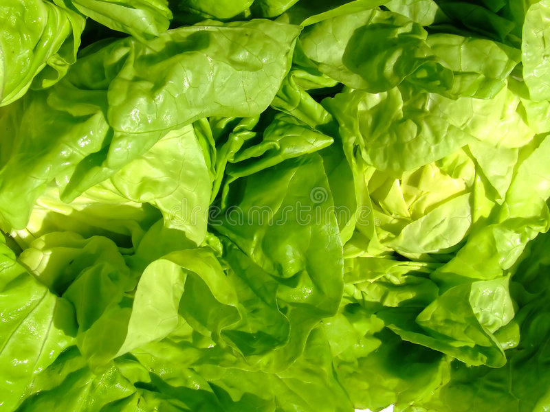 Grüne Kopfsalatblätter stockbild