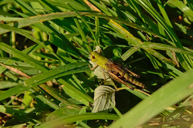 Grüne kurz-gehörnte Heuschrecke, die im Gras sitzt stockfotografie