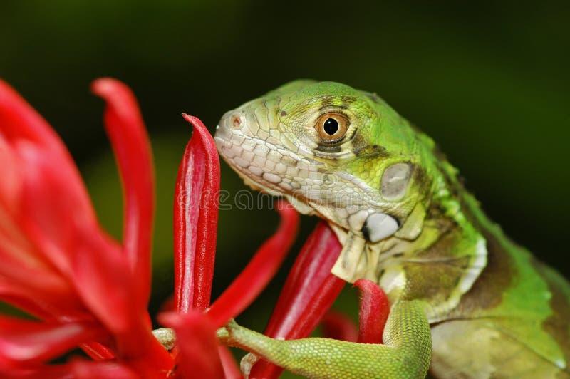 Grüne Leguan-roter Ingwer-Blume stockbild