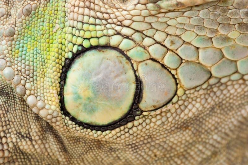 Grüne Leguanhaut stockbild