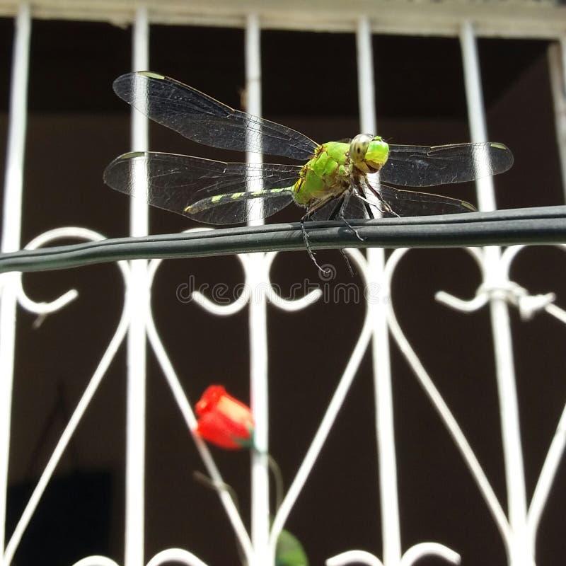 Grüne Libelle auf elektrischem Draht stockbilder