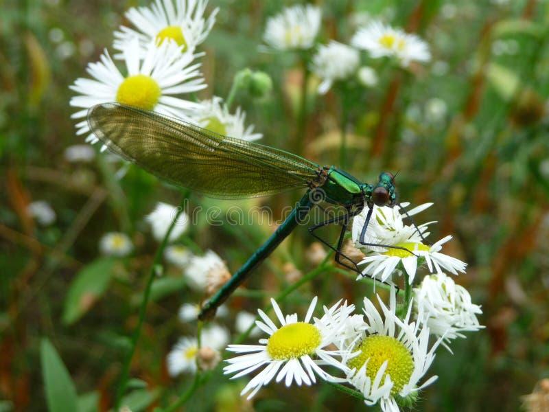 Grüne Libelle auf weißem Gänseblümchen stockfotografie