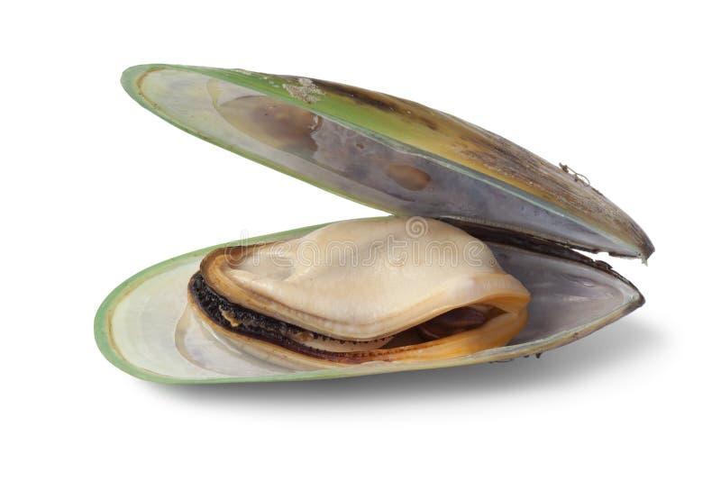 Grüne lippige Miesmuschel Neuseelands lizenzfreies stockbild