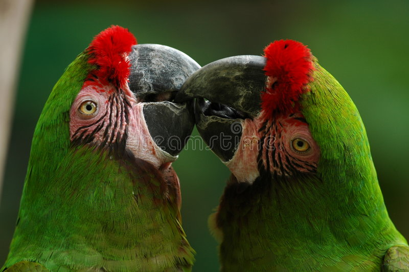 Grüne Macaws stockfotos