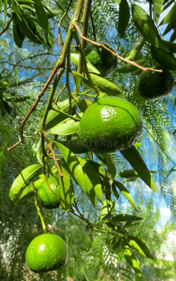 Grüne Mandarine auf dem Baum stockbild
