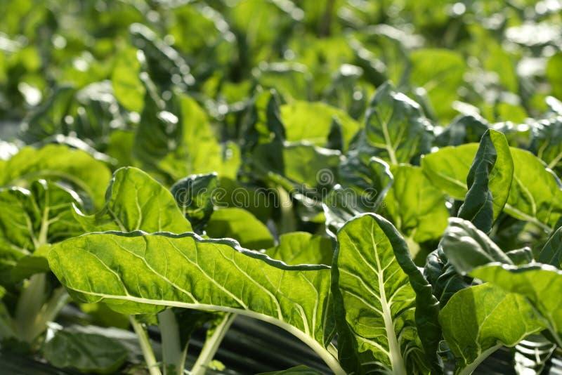 Grüne Mangoldgemüsebearbeitung auf einem Treibhausgebiet stockbilder
