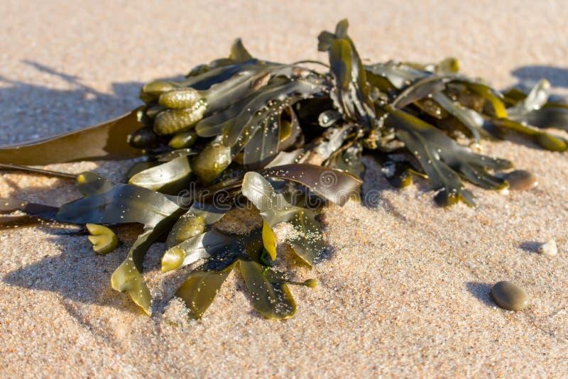 Gr?ne Meerespflanze auf Sandnahaufnahme Neues Seetangmakro Wilde Seenatur Fische, Meerespflanzen, Luftblasen lizenzfreie stockfotografie
