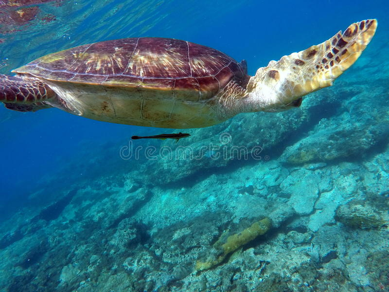 Grüne Meeresschildkröte über dem Korallenriff und dem Meeresgrund lizenzfreie stockbilder