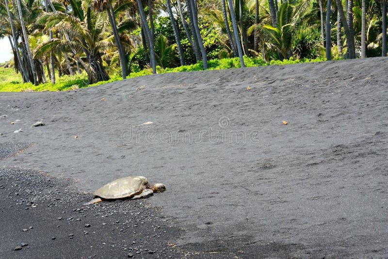 Grüne Meeresschildkröte auf einem schwarzen Sandstrand, große Insel, Hawaii lizenzfreie stockfotografie