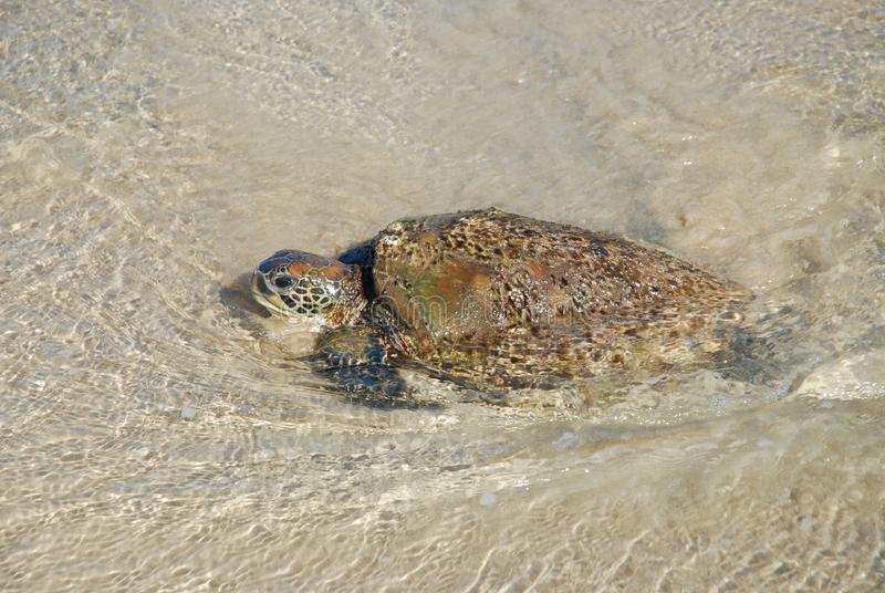 Grüne Meeresschildkröte, Chelonia mydas, bedrohte Art stockfoto