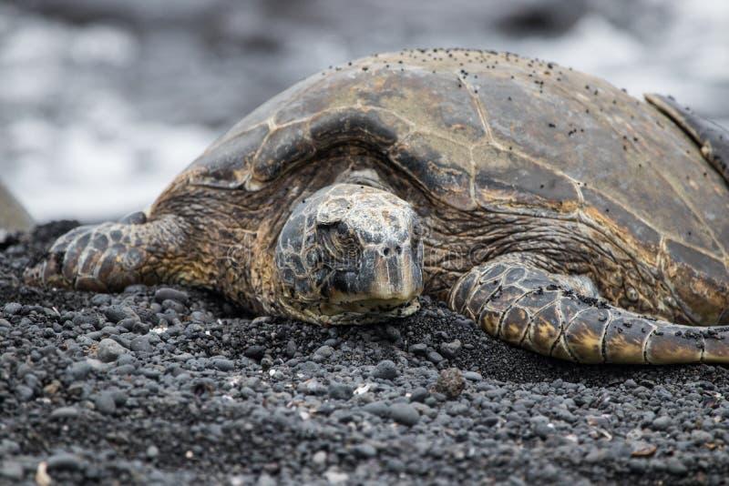 Grüne Meeresschildkröte in Hawaii lizenzfreie stockfotografie