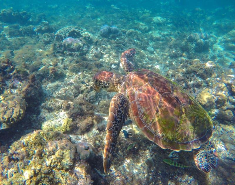 Grüne Meeresschildkröte im Unterwasserfoto der wilden Natur lizenzfreie stockbilder
