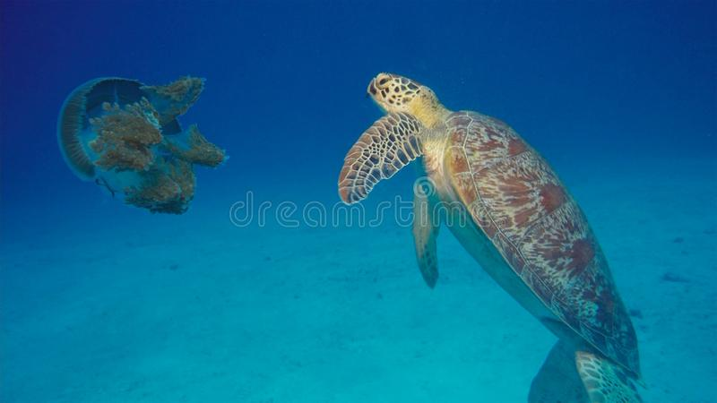 Grüne Meeresschildkröte isst große Kronen-Quallen stockbild