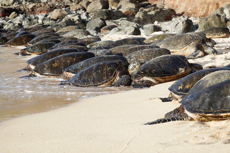 Grüne Meeresschildkröten auf einem Maui-Strand stockfotos