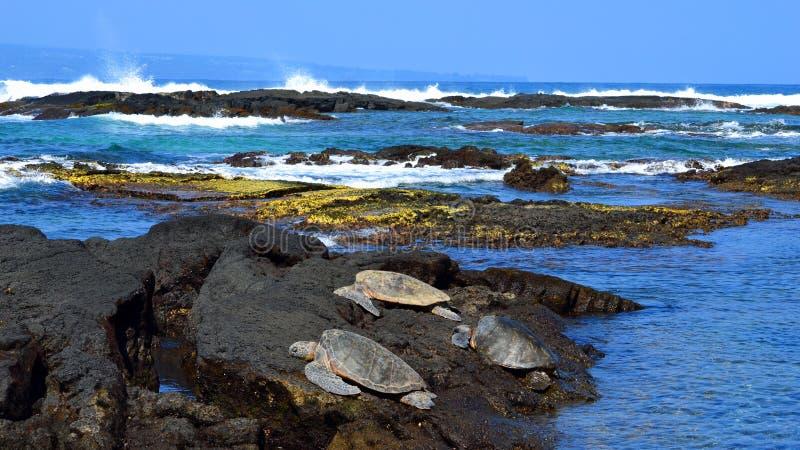 Grüne Meeresschildkröten, die auf Felsen in panoramischem breitem Bild Hawaiis stillstehen lizenzfreies stockfoto