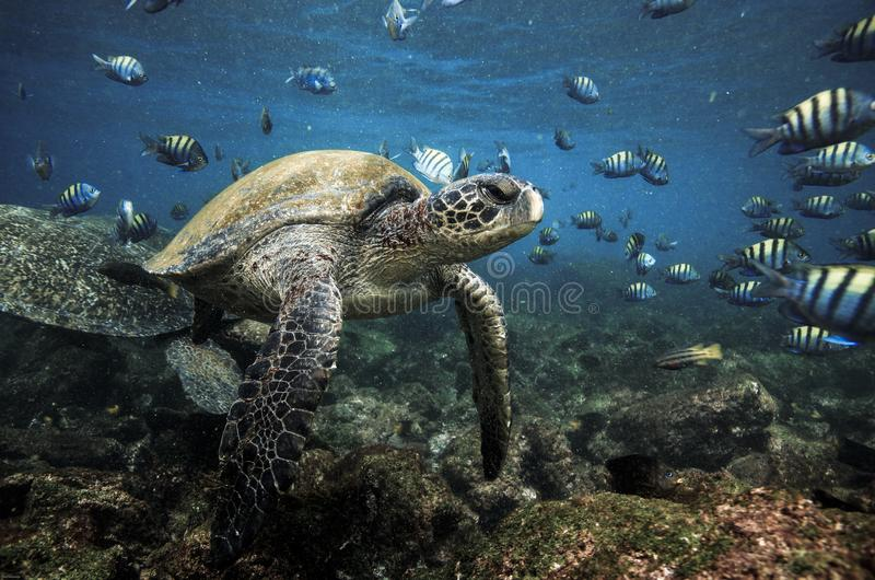 Grüne Meeresschildkröten und Sergeant Major-Fische stockfotos