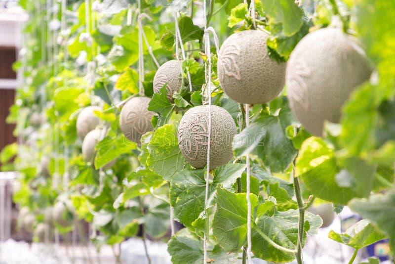 Grüne Melonen oder Kantalupenmelonen pflanzt das Wachsen im Gewächshaus stockfotos