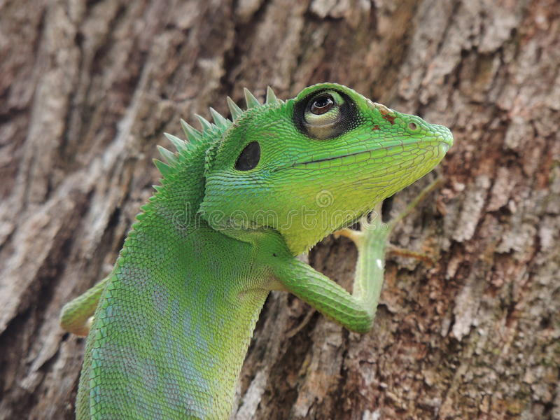Grüne mit Haube Eidechse lizenzfreie stockbilder