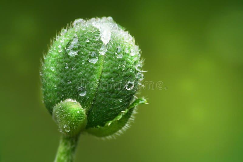 Grüne Mohnblumeknospe lizenzfreies stockbild