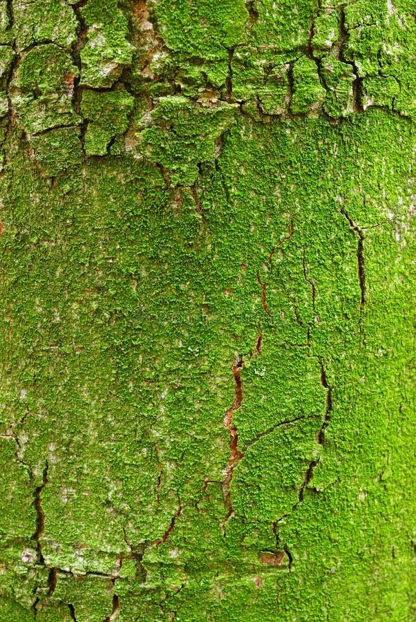 Grüne moosige Barke des Baums stockfoto