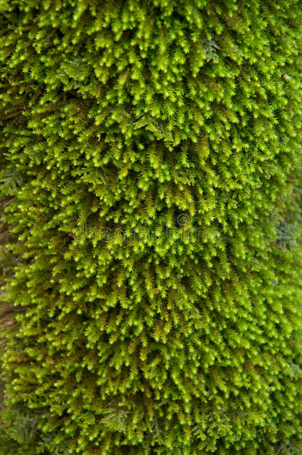 Grüne Moosnahaufnahme stockfoto