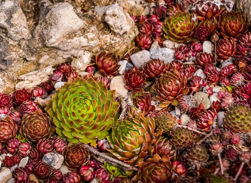 Grüne Mutter Hen Plant und ihre roten Küken stockbild