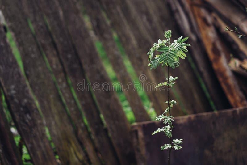Grüne Niederlassung mit jungen kleinen Blättern vor dem hintergrund eines Bretterzauns Frühling Platz für Text Der Ursprung eines stockbild