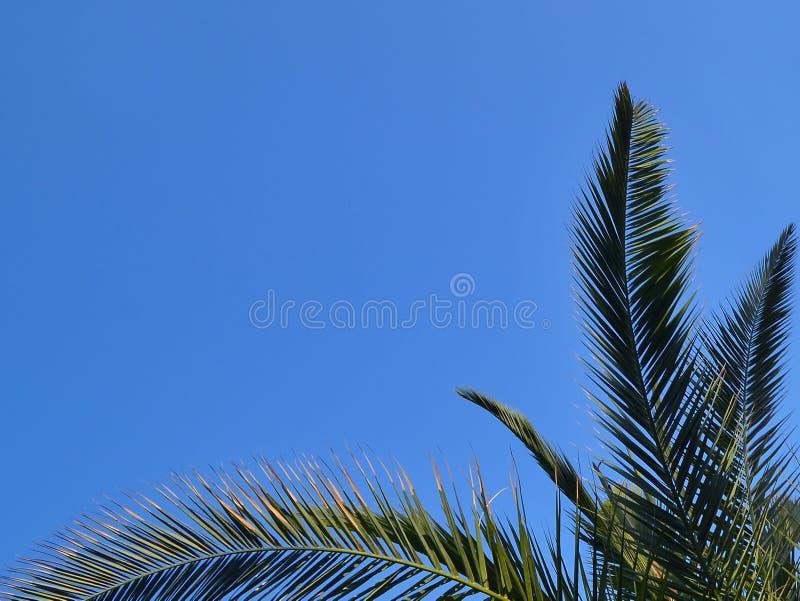 Grüne Niederlassungen der Dattelpalme der Kanarischen Insel gegen einen hellen blauen Himmel lizenzfreies stockfoto
