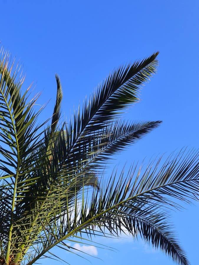 Grüne Niederlassungen der Dattelpalme der Kanarischen Insel gegen einen hellen blauen Himmel, vertikaler Rahmen stockfotos