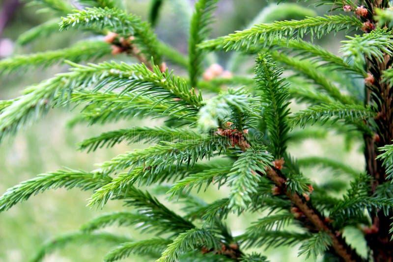 Grüne Niederlassungen von jungen Weihnachtsbäumen auf einem dunkelgrünen Hintergrund des Waldes stockfotografie