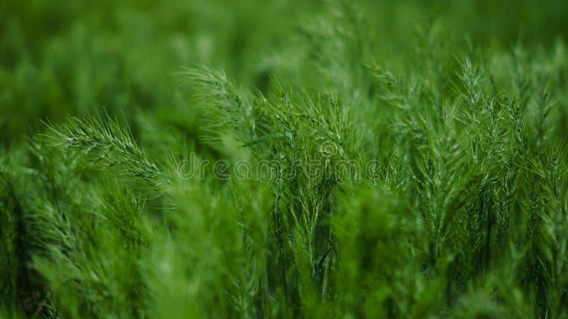 Grüne Ohren stockbilder