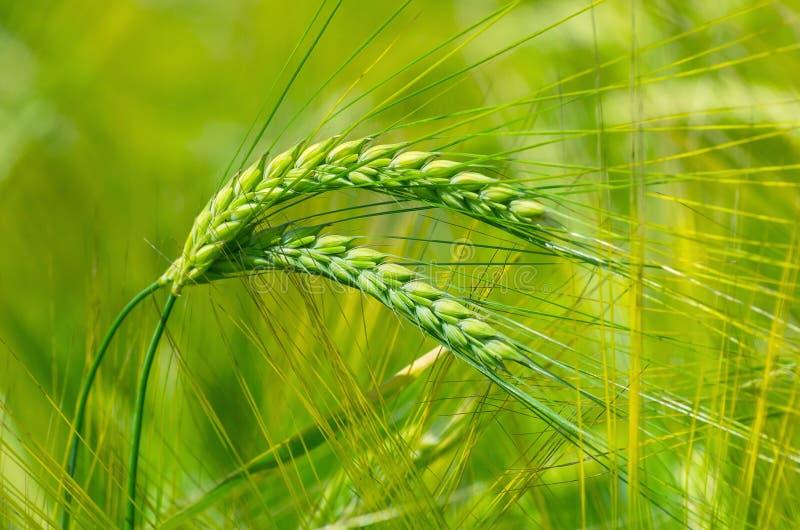 Grüne Ohren der Gerste stockfotografie