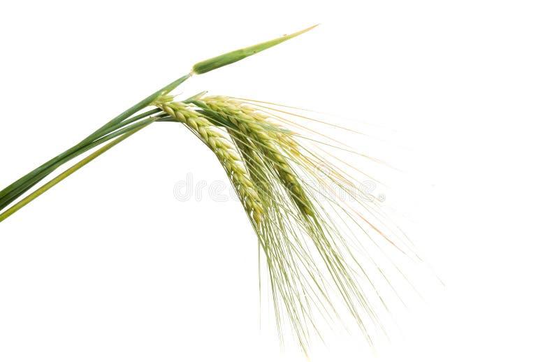 Grüne Ohren des Weizens lokalisiert lizenzfreies stockbild