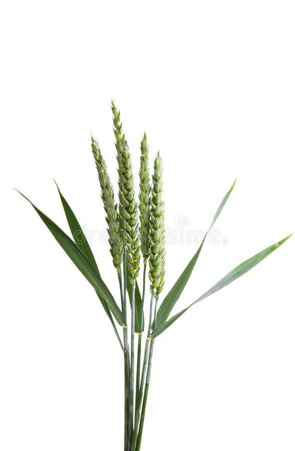 Grüne Ohren des Weizens lokalisiert stockfotos