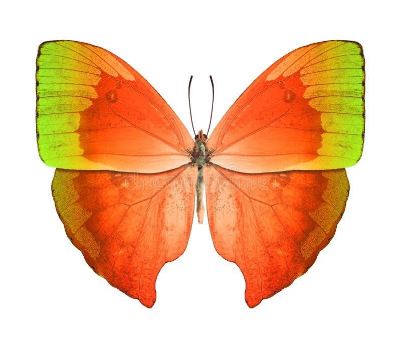 Grüne Orange des Schmetterlinges lizenzfreie stockfotografie