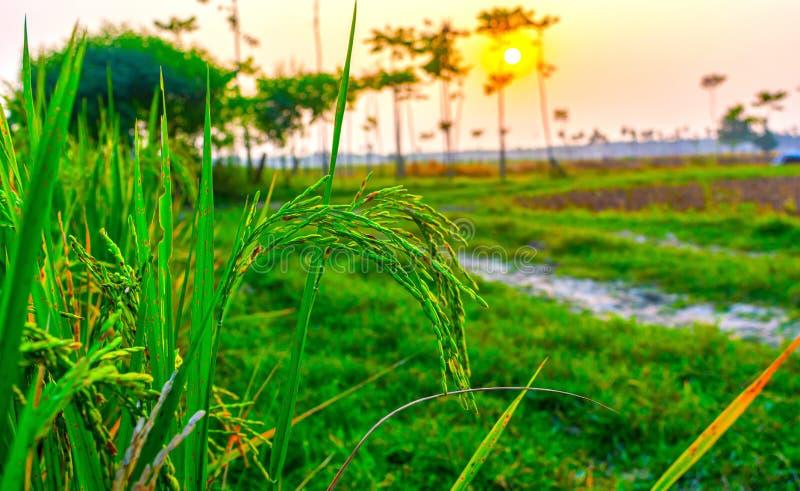 Grüne Paddy auf Reis- oder Paddy-Feldern stockfotos