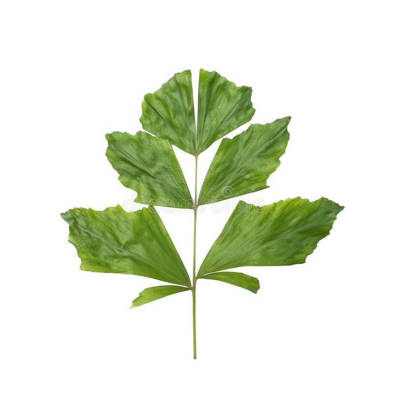Grüne Palmblätter für Decorate lokalisierten lizenzfreies stockbild