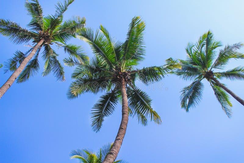 Grüne Palme der Kokosnuss drei auf klaren Naturmustern des blauen Himmels für Hintergrund lizenzfreies stockbild