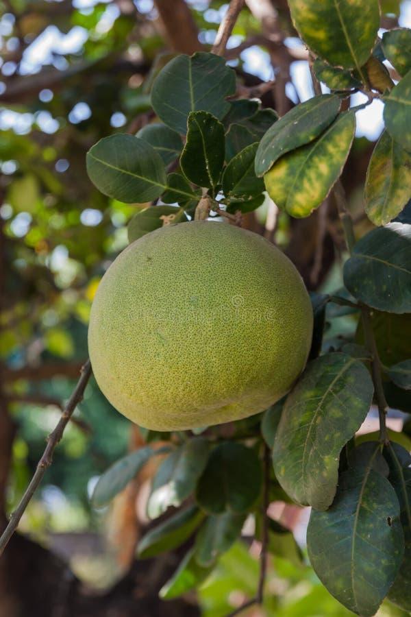 Grüne Pampelmuse, die auf Baum im Biohof wächst stockfotografie