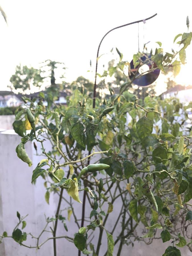 Grüne Paprikas stockbilder
