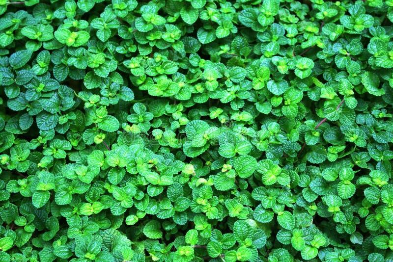 Grüne Pfefferminzanlagen auf Hintergrund stockbild